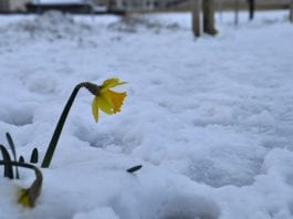 A daffodil in the snow