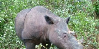Money raised by the Dundrum Summer Safari will go towards helping Sumatran Rhinos like the one pictured above