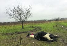 A pony found tied to a tree in Tyrrelstown that couldn't stand up. Picture: www.mylovelyhorserescue.com