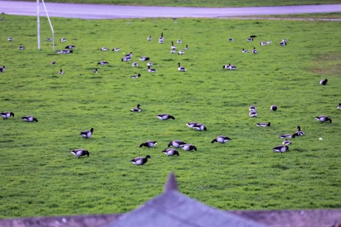 The designated pitches for development at Clonkeen College have been frequented by Brent Geese