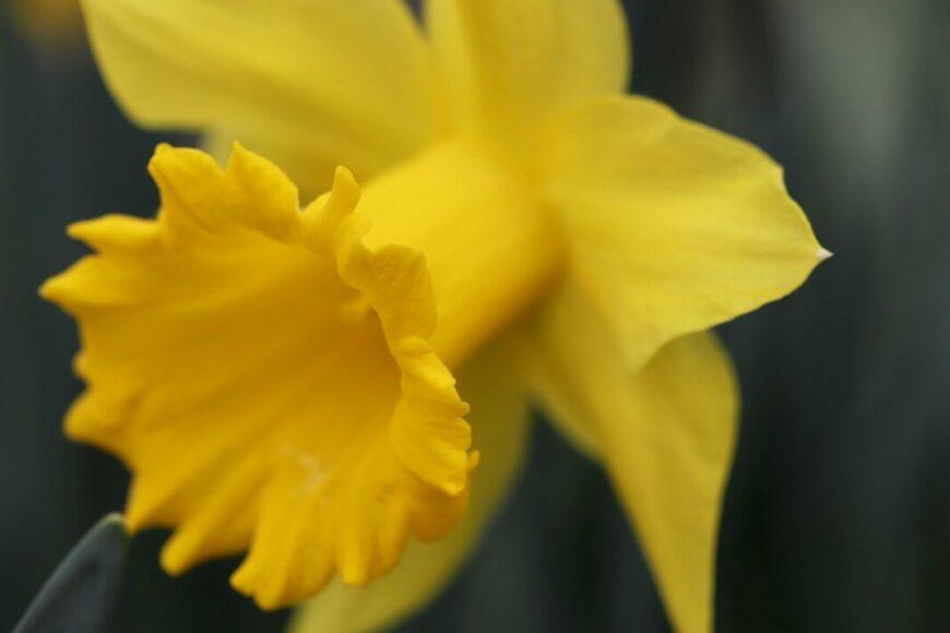 daffodil g187ff0902 1920 scaled
